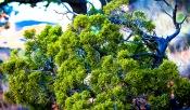 Arizona Tree - 2016